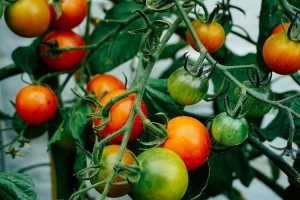 smart greenhouses for tomato farming