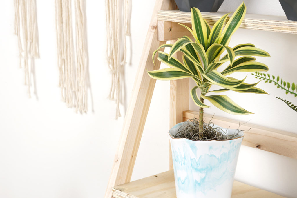 Dracaena Plant in Stand