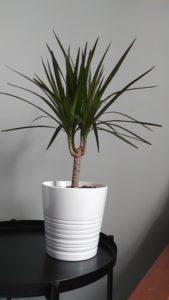 giveaway dracaena marginata indoor plant
