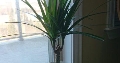 giveaway dracaena indoor plant
