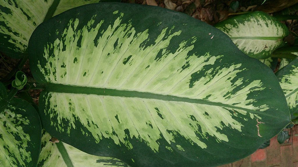 Dieffenbachia_(Dumb_Cane_Tropical_Snow)